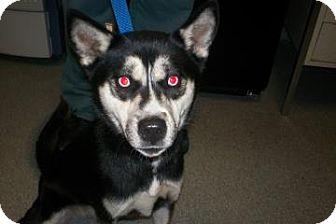 Siberian Husky/Husky Mix Dog for adoption in Lincolnton, North Carolina - Carmen