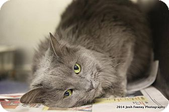 Domestic Longhair Cat for adoption in Chicago, Illinois - Maude