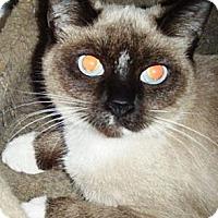 Adopt A Pet :: Phoebe - Kensington, MD