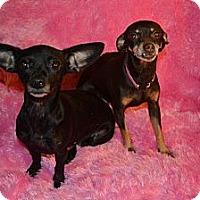 Adopt A Pet :: Evie - Cranford, NJ