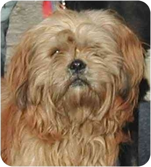 Lhasa Apso/Terrier (Unknown Type, Small) Mix Dog for adoption in El Segundo, California - Cramer