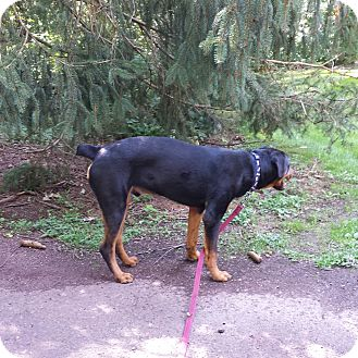 Rottweiler Mix Puppy for adoption in Frederick, Pennsylvania - Gage