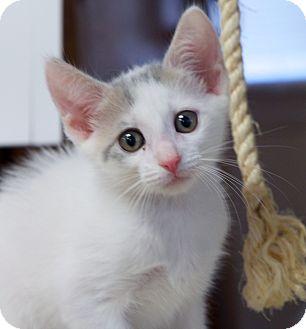 Domestic Shorthair Kitten for adoption in Huntsville, Alabama - Autumn