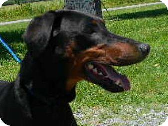 Doberman Pinscher Dog for adoption in Tyner, North Carolina - Dodger