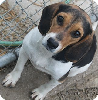 Beagle Puppy for adoption in Freeport, Maine - Daisy