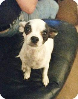 Chihuahua Mix Dog for adoption in Chandler, Arizona - Roxie