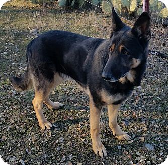 German Shepherd Dog Mix Dog for adoption in Red Bluff, California - Norman