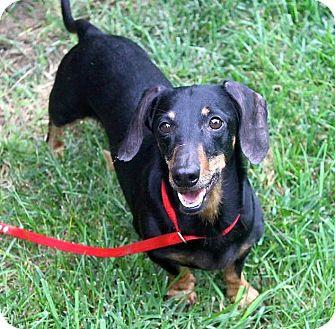 Dachshund Mix Dog for adoption in Lincoln, Nebraska - Rowdy