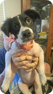 Spaniel (Unknown Type) Mix Puppy for adoption in Pottstown, Pennsylvania - Kaylin