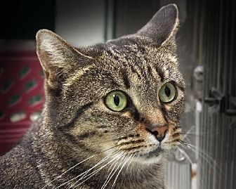 Domestic Shorthair Cat for adoption in Toledo, Ohio - MINDY