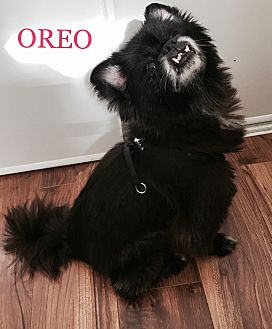 Pomeranian/Pekingese Mix Dog for adoption in SO CALIF, California - OREO