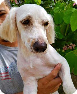 Labradoodle Mix Dog for adoption in Osseo, Minnesota - Mariha