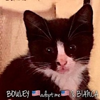 Adopt A Pet :: Bouley - Great Neck, NY