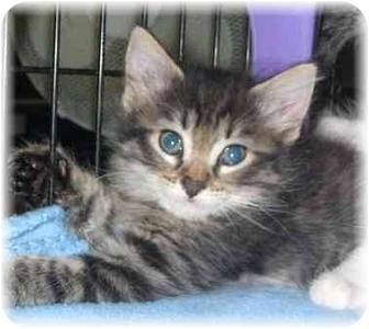 Maine Coon Kitten for adoption in Naples, Florida - Capricorn