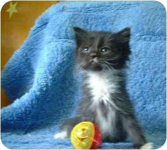 Domestic Mediumhair Kitten for adoption in Honesdale, Pennsylvania - Jrue