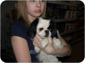 Japanese Chin Dog for adoption in Lonedell, Missouri - Haven