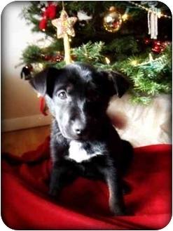 German Shepherd Dog/Labrador Retriever Mix Puppy for adoption in Southington, Connecticut - Olivia