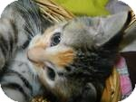 Domestic Shorthair Kitten for adoption in Clearfield, Utah - Ling Ling