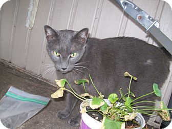 Domestic Shorthair Cat for adoption in Daytona Beach, Florida - Lex
