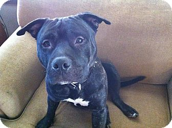 American Pit Bull Terrier Mix Dog for adoption in East McKeesport, Pennsylvania - Diablo
