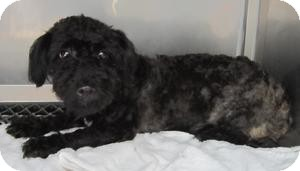 Poodle (Miniature) Mix Dog for adoption in Bloomfield, Connecticut - Lo Mein
