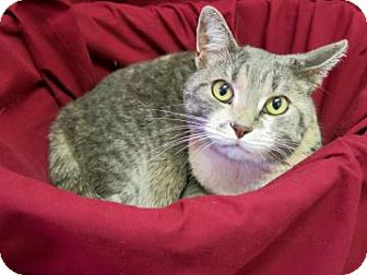 Domestic Shorthair Cat for adoption in Buena Vista, Colorado - Kitty