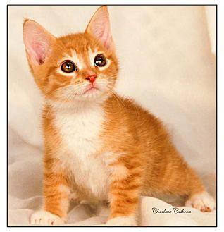Domestic Shorthair Kitten for adoption in Newland, North Carolina - Shaggy