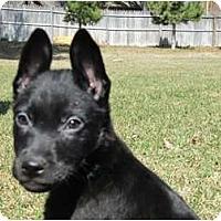 Adopt A Pet :: Kaiser - Arlington, TX