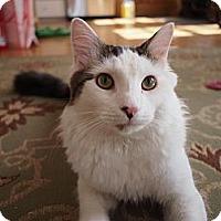 Adopt A Pet :: Pounce - Bedford, MA