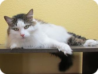 Maine Coon Cat for adoption in Benbrook, Texas - Allie