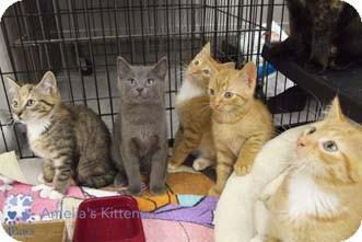 Domestic Shorthair Kitten for adoption in Merrifield, Virginia - Turtle