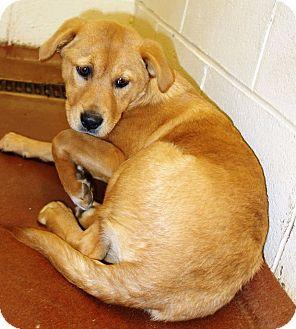 Australian Shepherd Mix Puppy for adoption in McDonough, Georgia - 1/2-001