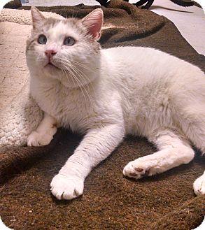 Domestic Shorthair Cat for adoption in Diamond Springs, California - Roy