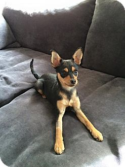 Miniature Pinscher Puppy for adoption in Oceanside, California - Valentina