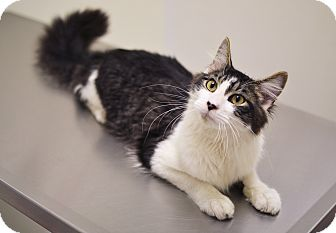 Domestic Mediumhair Cat for adoption in Springfield, Illinois - Crash
