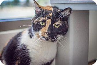 Calico Cat for adoption in Truckee, California - Harmony
