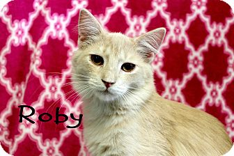 Domestic Mediumhair Kitten for adoption in Wichita Falls, Texas - Roby