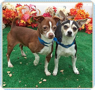Chihuahua Mix Dog for adoption in Marietta, Georgia - HECKLE & JECKLE (R)