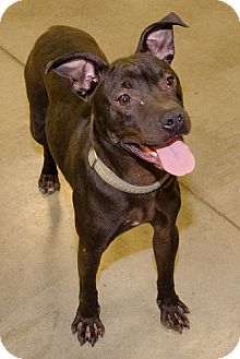 Pit Bull Terrier Mix Dog for adoption in Midlothian, Virginia - Joel/Bear aka Spiderman