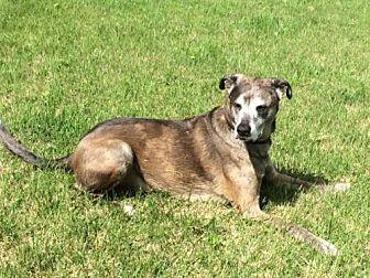 Catahoula Leopard Dog/Shepherd (Unknown Type) Mix Dog for adoption in O'Fallon, Missouri - Dozer