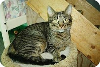 Domestic Shorthair Cat for adoption in THORNHILL, Ontario - Lady Madonna