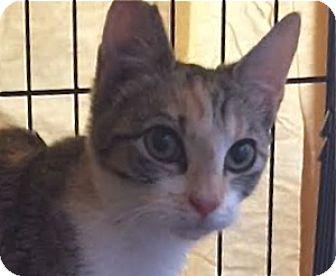 Domestic Shorthair Cat for adoption in LaJolla, California - Chance AKA Hazel