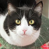 Domestic Shorthair Cat for adoption in St Louis, Missouri - Velma