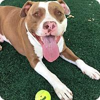 Adopt A Pet :: Paxton - Chula Vista, CA
