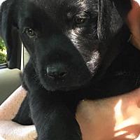 Adopt A Pet :: Hercules - Potomac, MD