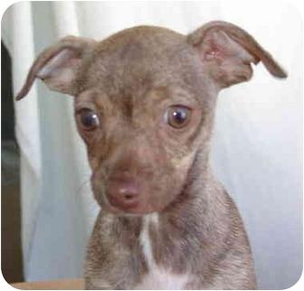 Chihuahua Puppy for adoption in El Segundo, California - Monte