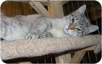 Siamese Cat for adoption in Catasauqua, Pennsylvania - Liz