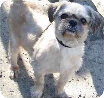 Shih Tzu Dog for adoption in Edmeston, New York - Oscar-NY