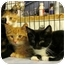 Photo 3 - Domestic Shorthair Kitten for adoption in Colmar, Pennsylvania - Dodger