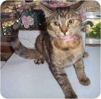 Domestic Shorthair Kitten for adoption in Columbia, South Carolina - Sundance